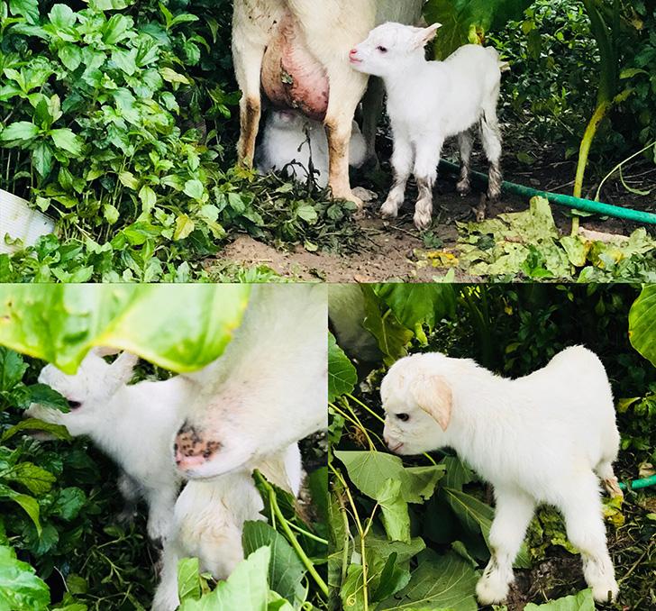 ヤギの赤ちゃん1