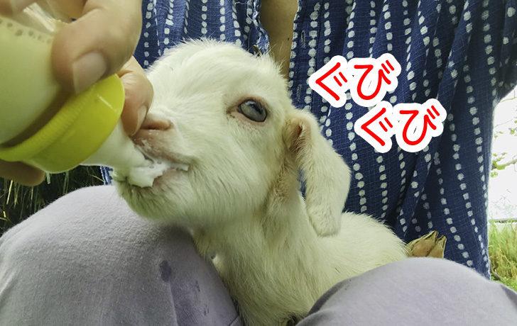 ミルクを飲む仔ヤギのともちゃん