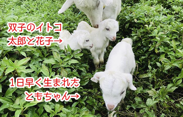 3匹の仔ヤギ